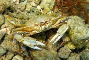 small-crab-in-shallow